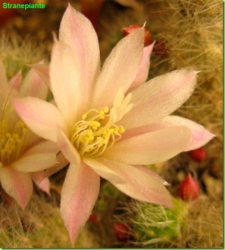 Rebutia albiflora Sin Aylostera albiflora fiore foto