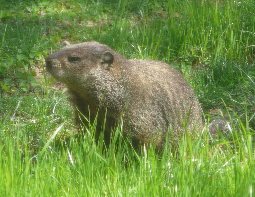 Mary the Groundhog in the yard, April 21, 2013