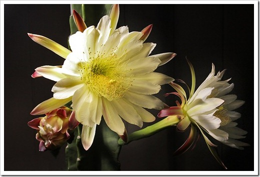110816_Cereus-hildmannianus-subsp-hildmannianus-3-flowers_36