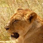 Löwenportrait, Ngorongorokrater © Foto: Ulrike Pârvu | Outback Africa Erlebnisreisen