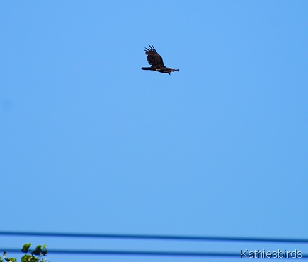 8. Vulture-kab