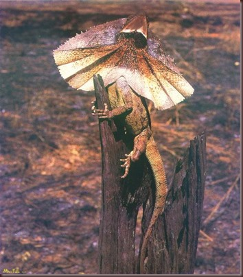 Amazing Animal Pictures Frill Necked Lizard (9)