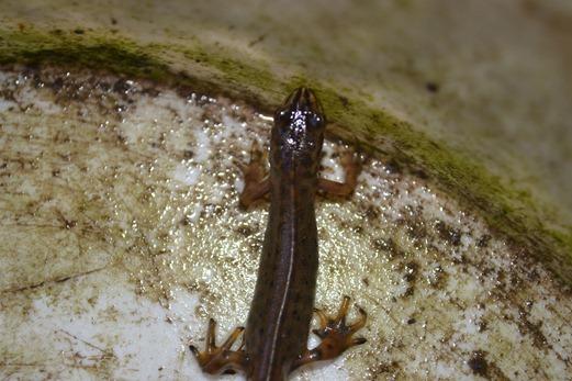 Common Newt of Smooth Newt  - Triturus vulgaris - young newt