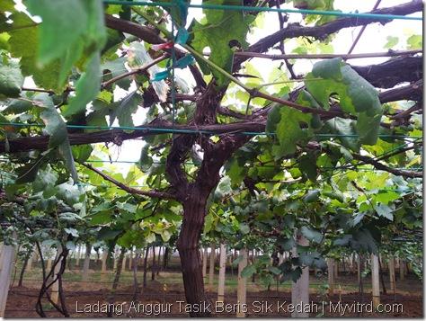 Ladang Anggur Tasik Beris 6