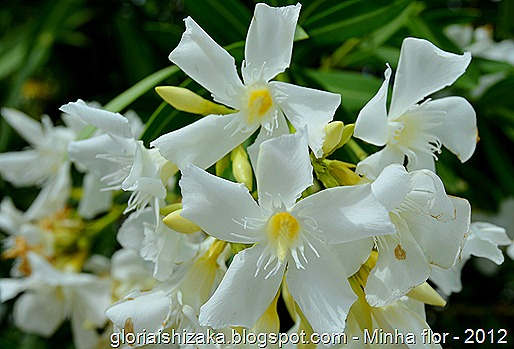 Glória Ishizaka - minhas flores - 2012 - 12