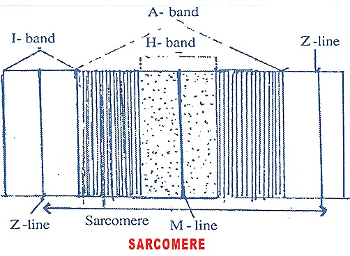 sarcomere