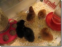 BBC chicks - The Backyard Farmwife