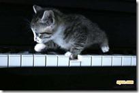 gato pianista blogdeimagenes (21)