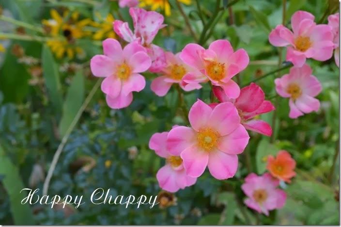 Happy Chappy7