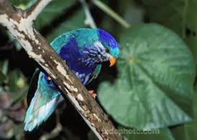 Amazing Pictures of Animals, Photo, Nature, Incredibel, Funny, Zoo, Vini ultramarina, Ultramarine Lorikeet, Aves, Bird, Alex (8)