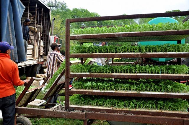 [planting-watermelons-032212-487.jpg]