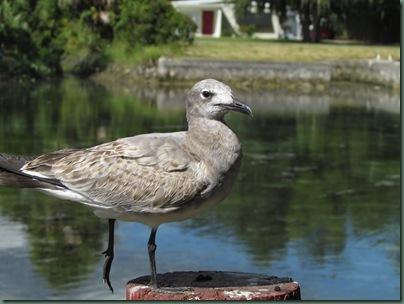 Gull at Hunter Spring