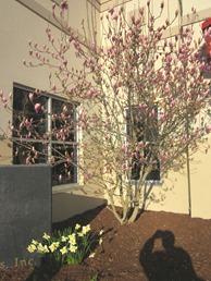 tulip magnolia (16)