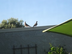 072512 mourning doves
