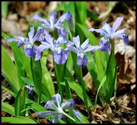 04 - Spring Wildflowers - Crested Dwarf Iris
