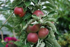 [apples%255B3%255D.jpg]