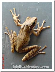 Polypedates leucomystax_Katak Pohon Bergaris_Stripped Tree Frog 3