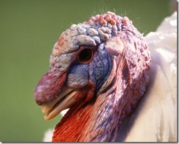 turkey-head