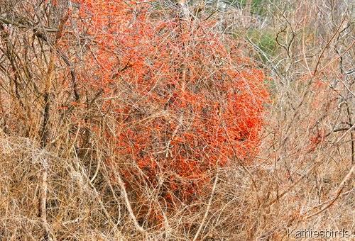 2. 12-21-14 bittersweet berries-kab