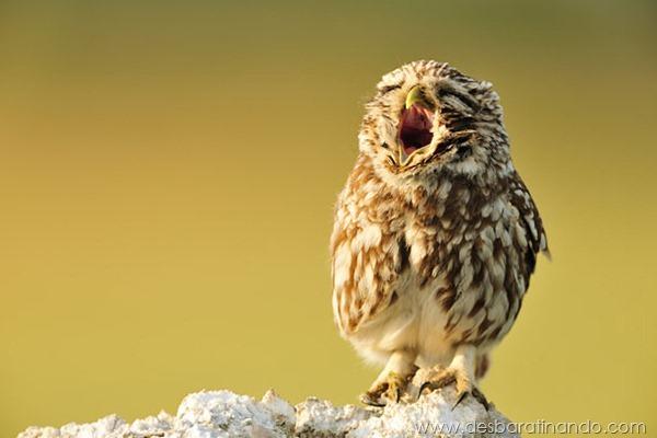 animais-bocejando-bocejar-desbaratinando (9)