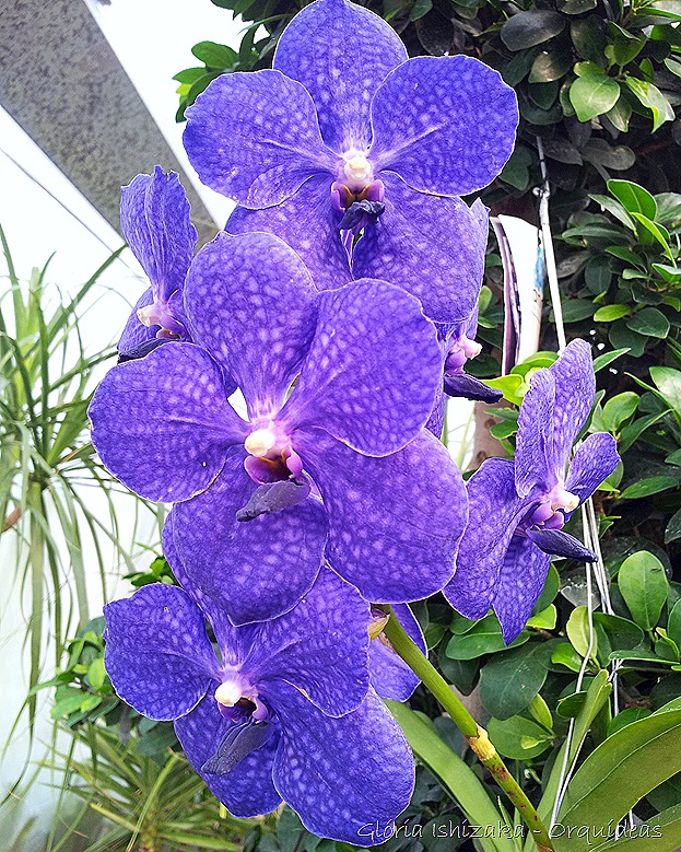 Glória Ishizaka - orquideas 8