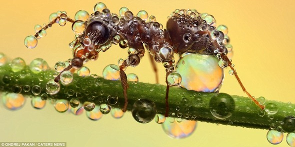 An ant looks like it is struggling to cope under the weight of the water