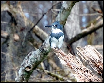 08 - Animals - Belted Kingfisher