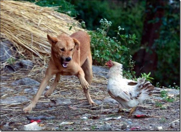 Por que você não deve mexer com frangos (3)