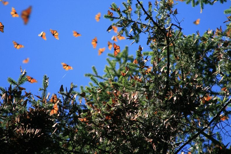 monarch-migration-18