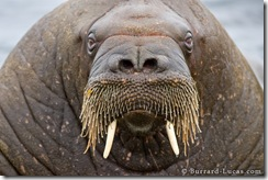 Walrus Face