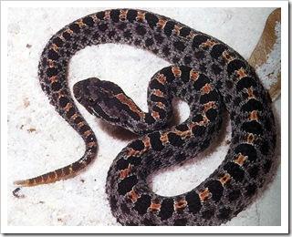 dusky_pygmy_rattlesnake