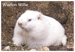 Wiarton Willie