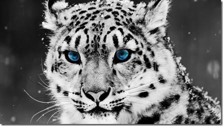 foto leopardo de las nieves