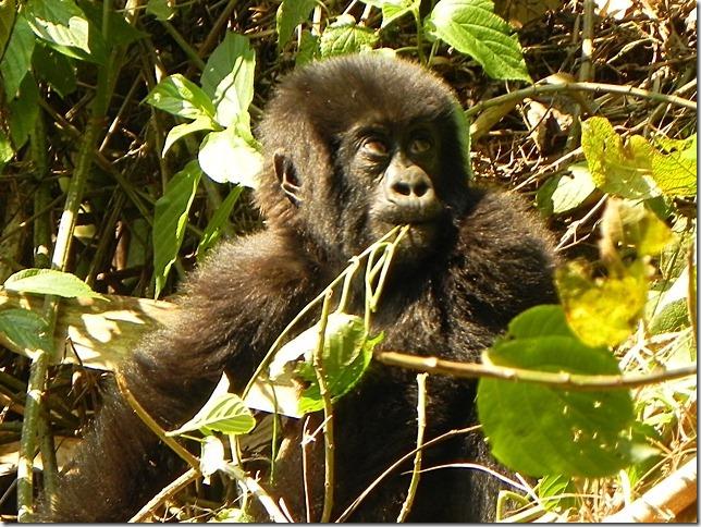 Rwanda_Gorillas (3)
