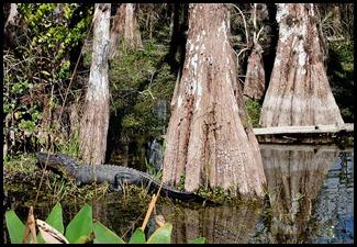 16e - Cypress Swamp Big Trees and Big Gators