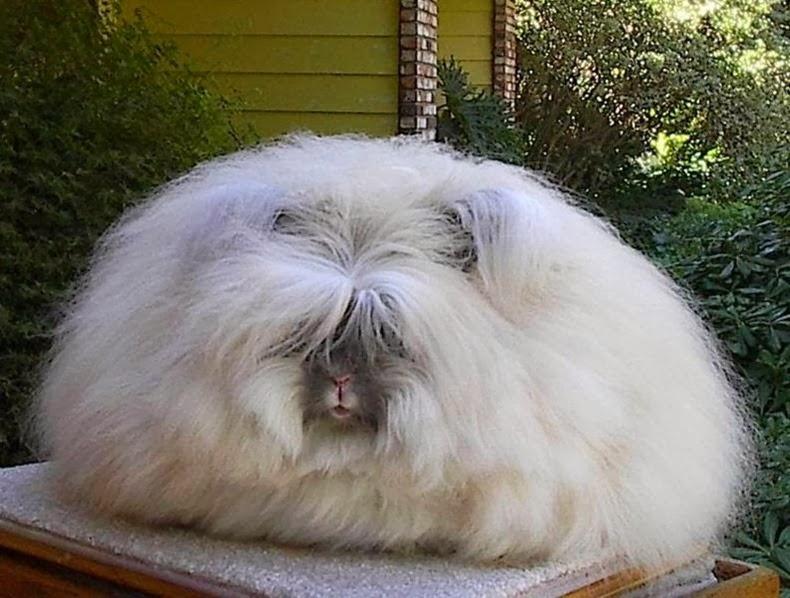 angora-rabbit-1