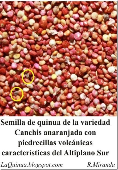 Semilla de Quinua de la variedad Canchis