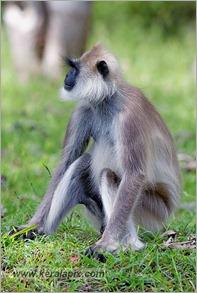 _P6A2107_grey_langur_monkey_mudumalai_bandipur_sanctuary