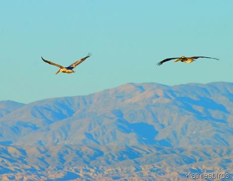 3. pelicans-kab