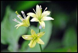 04v5 - Flowers - Wild Garlic