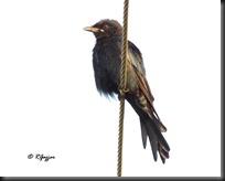 012 Drongo Cuckoo