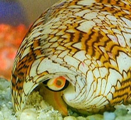 Amazing Pictures of Animals, Photo, Nature, Incredibel, Funny, Zoo, Conus, marine gastropod molluscs, Alex (14)