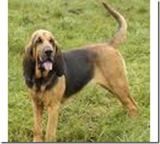 Blodhound