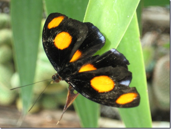 Farfalle 070