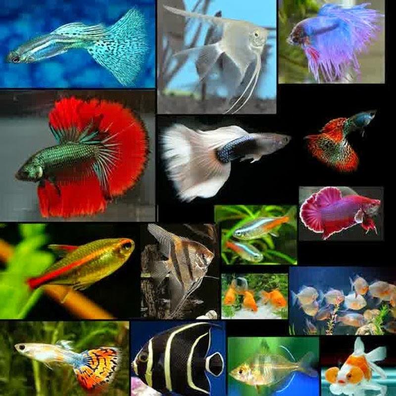 Media dan Perlengkapan untuk Ternak Guppy dan Ikan Hias Lainnya
