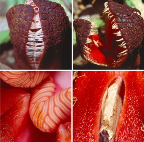 Fleshy Fecal-Scented Parasitic Flower, Hydnora africana