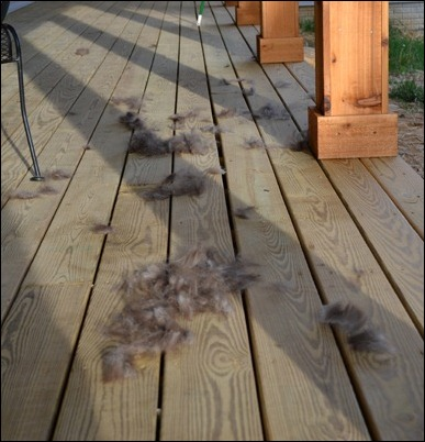 sadie is shedding on my porch