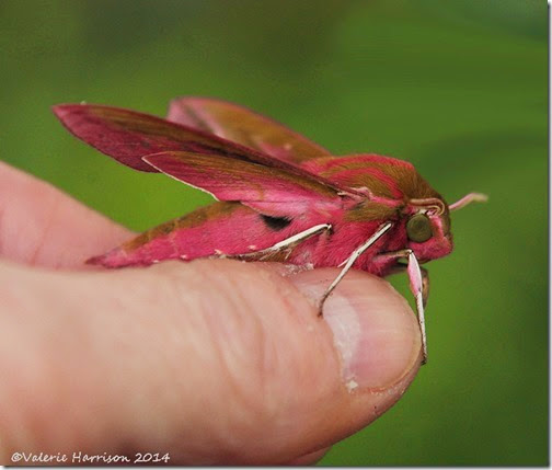 Elephant-Hawk-moth-3