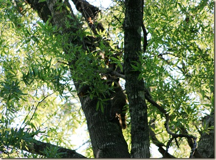 coons in tree 2