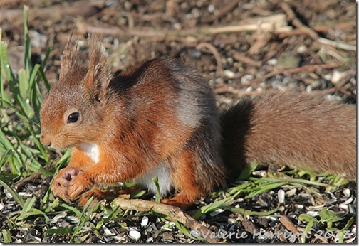 red-squirrel-7